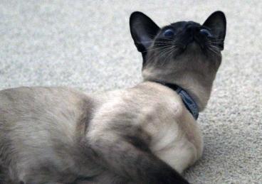 indoor cat training
